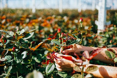 Someone is cutting a rose in a greenhouse