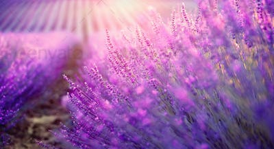 Lavender field in Provence, France. Blooming violet fragrant lav