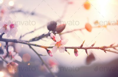 Spring nature background with blooming almond tree. Easter scene