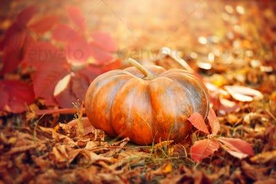 Halloween pumpkin. Thanksgiving day background. Orange pumpkin o