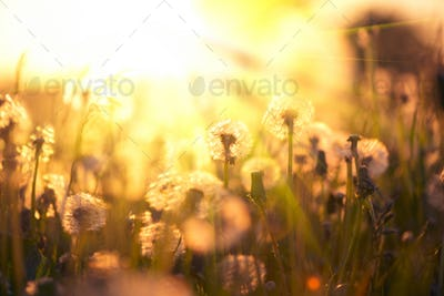 Dandelion field over sunset background. Dandelions blowing seeds