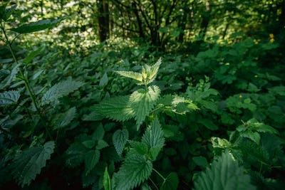 Twigs Of Wild Plant Nettle Or Stinging Nettle Or Urtica Dioica