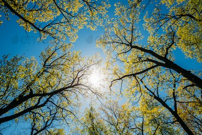 Sun Shining Through Canopy Of Tall Trees With Young Spring Folli