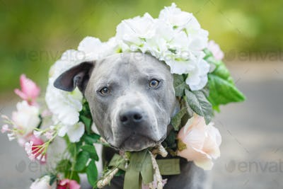 thai ridgeback dog in flower wreath