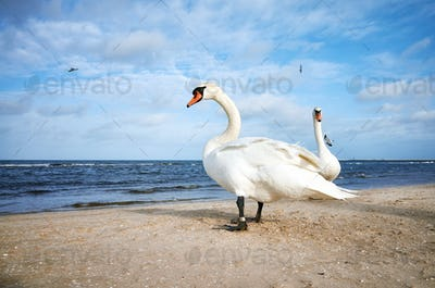 Two white swans on a beach