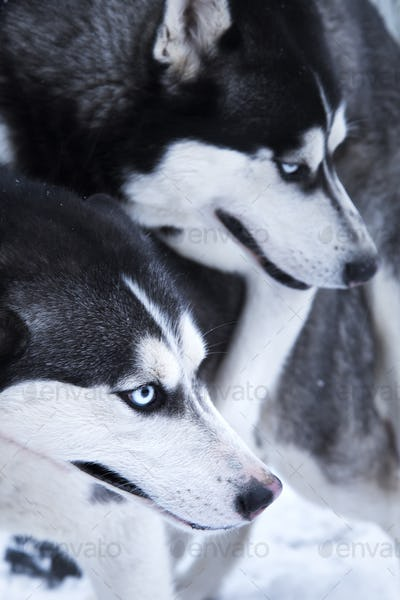 huskies love