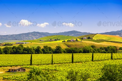 Montalcino countryside, vineyard, cypress trees and green fields