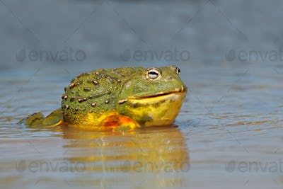 African giant bullfrog in water