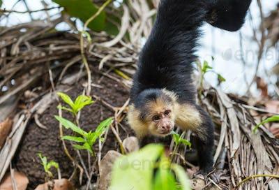 Monkey in Costa Rica