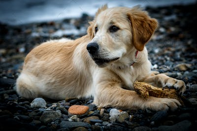 Beautiful puppy of Golden Retriever