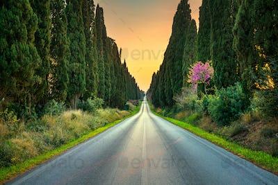 Bolgheri famous cypresses tree straight boulevard on sunset. Mar