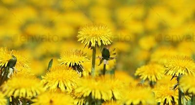 Springtime concept - dandelion flowers