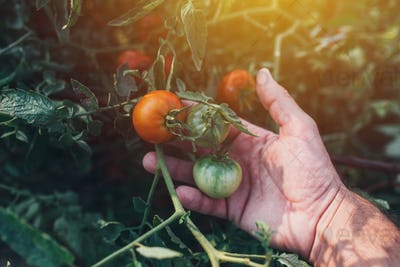 Farmer examining tomato fruit grown in organic garden