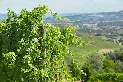 Green vine twigs and hills background in a sunny day in Italy