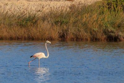 pink flamingo walking through the water