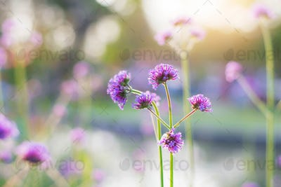 Purple flowers with beautiful