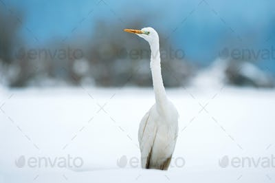 Great white egret in winter