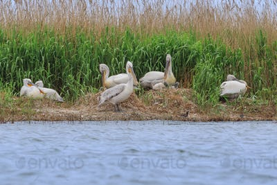 dalmatian pelicans (pelecanus crispus)