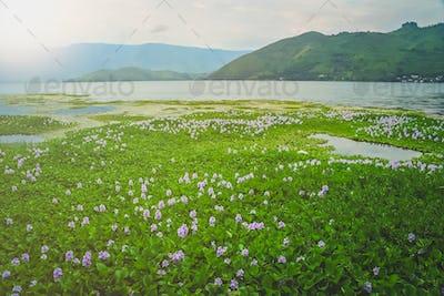 Wetlands on the shore of Lake Toba in Sumatra