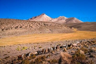 Herd of llamas grazing on the Altiplano