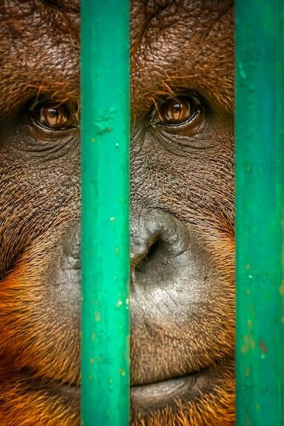 Sad orangutan behind bars
