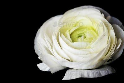 Closeup of blooming white rose