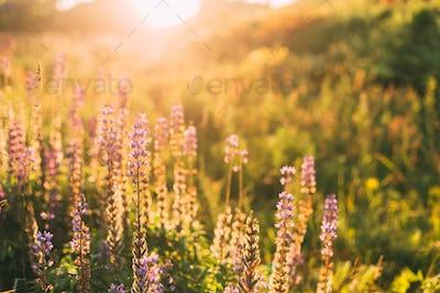 Wild Bloomy Flowers Lupine, Lupinus, Lupin In Sunset Sunrise Sun
