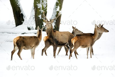 Red deer with family in the wild