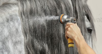Long glitter mane of gray horse is washed with water from hose.