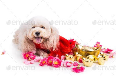 Dog in Chinese New Year festive setting in white background
