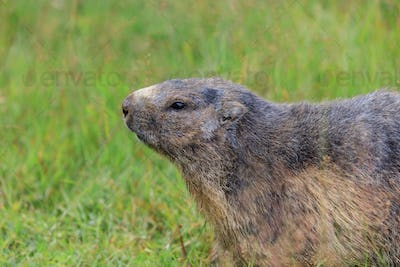 Alpine marmot (Marmota marmota) in the French Alps