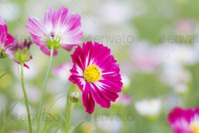 colors of cosmos flowers