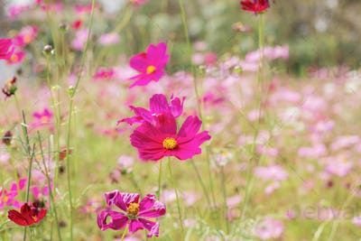 Cosmos with colorful