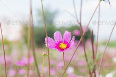 Pink cosmos with sunlight at sky