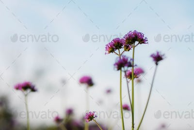 Purple flowers at blue sky