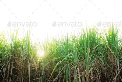 Sugar cane with sunlight