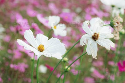White cosmos with sunlight