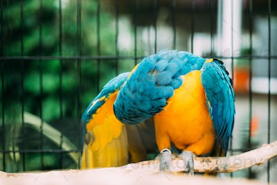 Blue-and-yellow Macaw Also Known As The Blue-and-gold Macaw In Z