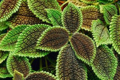Close View Of Green Pilea Crassifolia In Botanical Garden