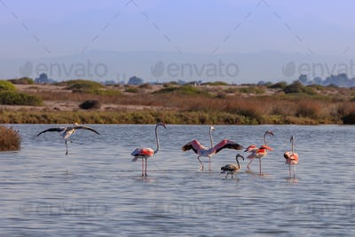 pink flamingos walking through the water