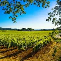 Bolgheri Castagneto vineyard and tree. Maremma Tuscany, Italy