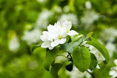 Flowering apple tree branch