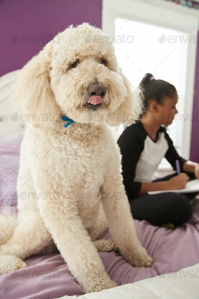 Pet dog looking at camera on girlÕs bed while she studies