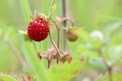 Wild strawberries - forest products