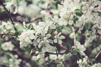 flowers of the apple tree
