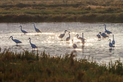 Little egrets (Egretta garzetta) in sunrise