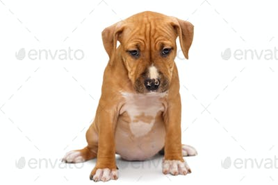 Small Staffordshire Terrier puppy