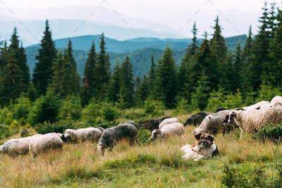 Brown shepherd dog protect the sheeps heard