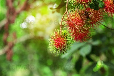 Red rambutan with sun shines