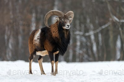 Mouflon, Ovis orientalis, forest horned animal in nature habitat